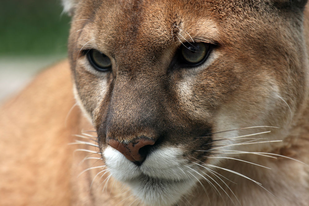 SAVE LOS ANGELES COUGARS